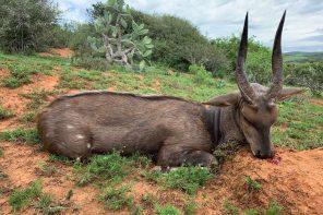 Bushbuck i Eastern Cape, Sydafrika