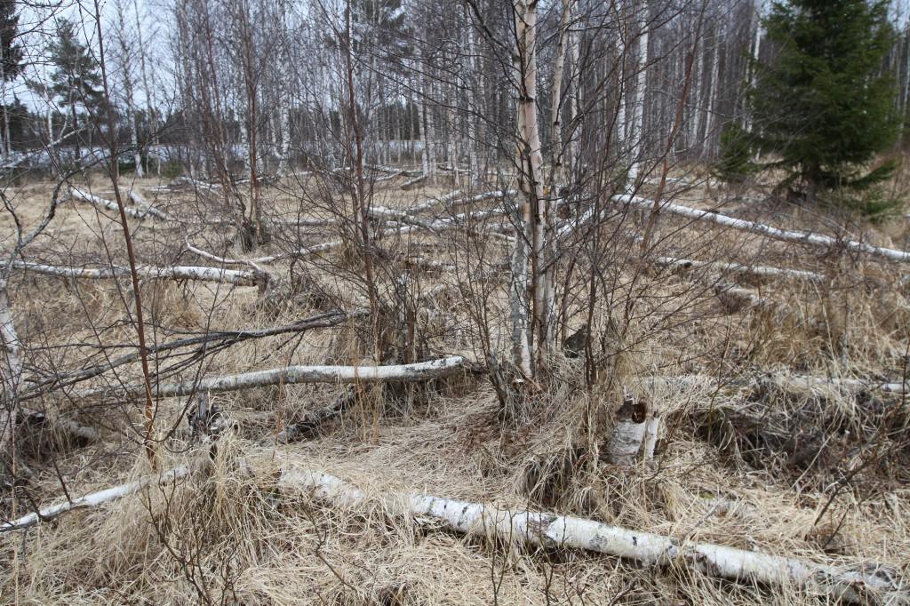 Træer fældet af bævere