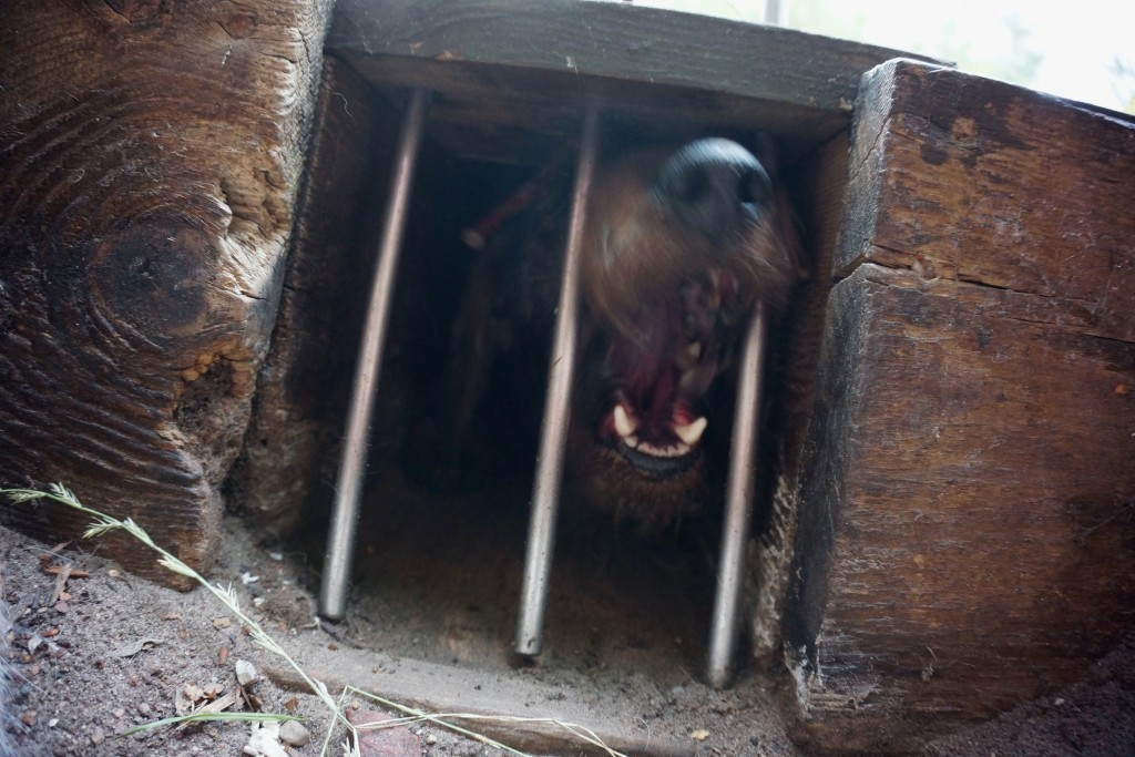 Gravhund i rævegrav