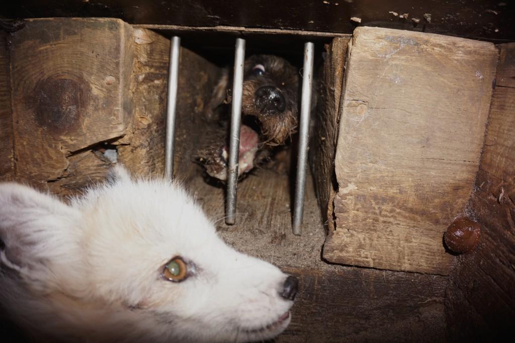 Gravhund og ræv i rævegrav