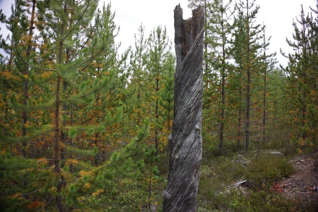 Snoet træ