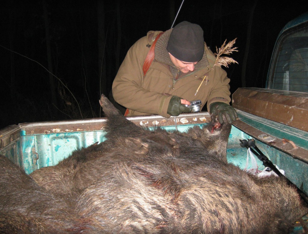 Vildsvinejagt i Polen